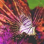 Deadly Lionfish, C. A. Hoffman