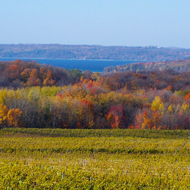 Fall Color Vineyard  By C. A. Hoffman