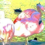 Flamingo Pastels I By C. A. Hoffman