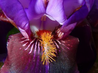 Color Photograph by C. A. Hoffman titled: Lavender Iriss Fuzzy Tongue, created in 2009