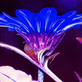 C. A. Hoffman: 'Neon Blue Vision', 2007 Color Photograph, Floral. Artist Description: I never saw a blue flower before, so I thought this would be interesting. I gave it a very intense flood of color with just enough contrast to give it a fantasy- neon look.  Would certainly light up any wall space. ...