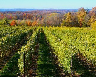 Color Photograph by C. A. Hoffman titled: Sunny Vineyard Walk, created in 2008