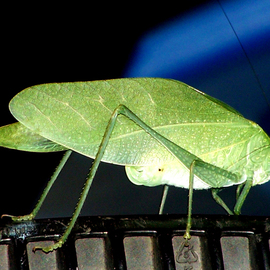 C. A. Hoffman: 'The Green Intruder', 2008 Color Photograph, Fauna. Artist Description:  This brightly colored intruder made a very sudden appearance outside my window one day. Not sure what he is, but nothing seemed to scare him, not even the camera flash! ...