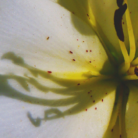 C. A. Hoffman: 'White Shadow Music', 2010 Color Photograph, Floral. Artist Description:  This is an original photo that has been digitally- painted to create an original work of art.                                                                                ...