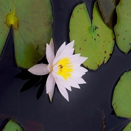C. A. Hoffman: 'electric white lily', 2019 Color Photograph, Floral. Artist Description: This is a favorite of mine, the whites just pop out at you in the Lily against the greens of the lily pads...