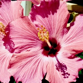 C. A. Hoffman: 'pink telescope', 2019 Color Photograph, Floral. Artist Description: This is a photograph of one of my favorite flowers, the Hibiscus. The colors were fantastic and were screaming at me to take their picture ...