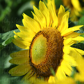 lone sunflower  By Tracy Brown