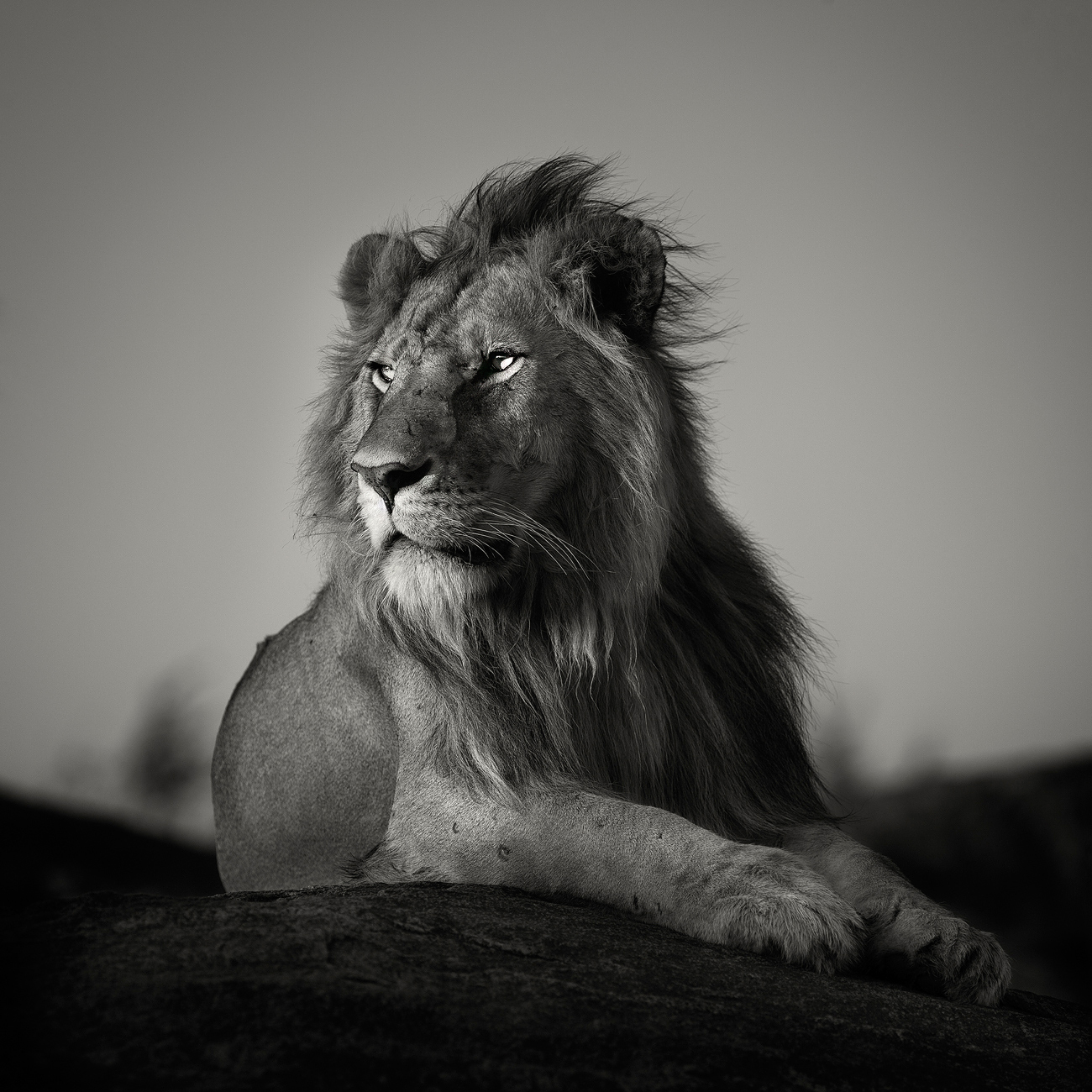 Nomad lion photography by pekka jarventaus