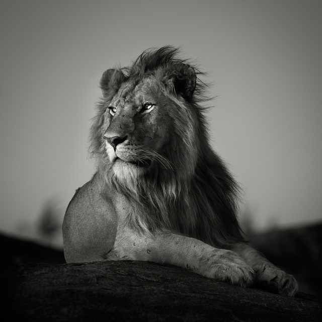 Pekka Jarventaus  'Nomad Lion', created in 2014, Original Photography Black and White.