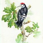 Lesser Spotted Woodpecker By Roger Farr