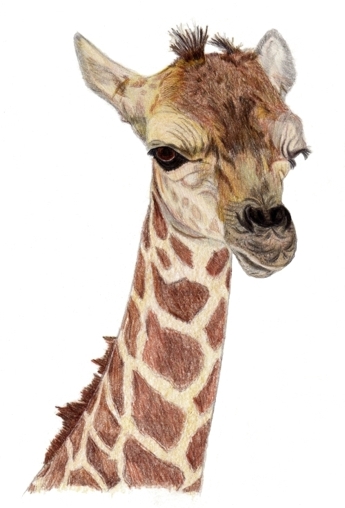Baby Giraffe Pencil Drawing By Pamela Stirling