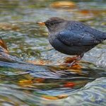 american dipper By R Christopher Vest
