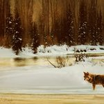frosty morning, coyote at moose junction By R Christopher Vest