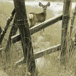 , Old Fencerow, Young Mule , Wildlife, $94