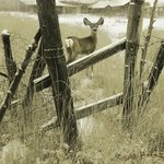 old fencerow, young mule deer By R Christopher Vest