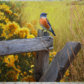 Rail And Rabbitbrush, Late Summer Western Bluebird, R Christopher Vest