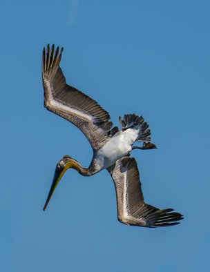 Dick Drechsler: 'dive dive dive', 2018 Color Photograph, Birds. Artist Description: This majestic bird was just starting a dive over the Channel Islands Harbor in Oxnard, CA to capture dinner. ...