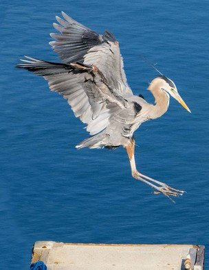 Dick Drechsler: 'great blue heron landing', 2018 Color Photograph, Birds. Artist Description: This great blue heron feeds on the docks in the Channel Islands Harbor in Oxnard, CA. Here it is landing for an afternoon of fishing. ...
