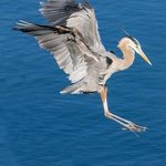 great blue heron landing By Dick Drechsler