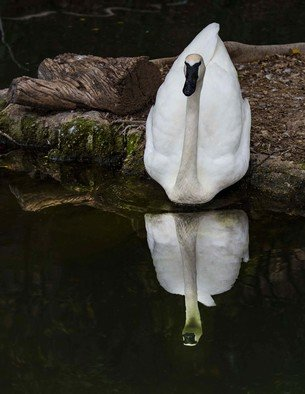 Dick Drechsler: 'mirror mirror on the water', 2018 Color Photograph, Birds. Artist Description: This swan was gliding into the calm, dark water, just as I was taking the shot. ...
