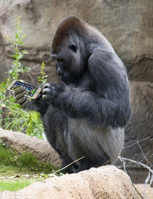 Dick Drechsler: 'texting gorilla at the la zoo', 2018 Color Photograph, Animals. Artist Description: This whimsical photo was taken at the LA Zoo and enhanced in Photoshop. GREAT FOR KIDS ...