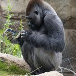 texting gorilla at the la zoo By Dick Drechsler