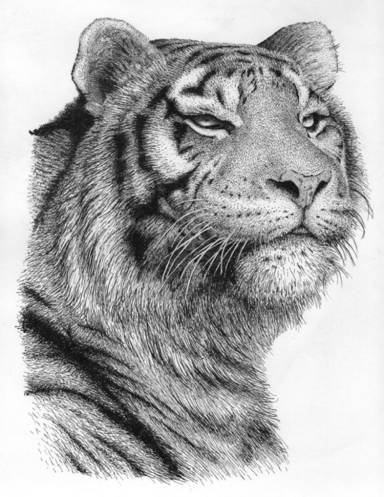 Rens Ink Artwork Tiger Original Drawing Pen Animals Art
