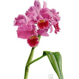 Richard Harpum Artwork Orchid Lc Culminant La Tuilerie, 2010 Watercolor, Botanical