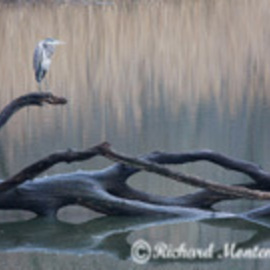 Richard Montemurro: 'BLUE LAGOON', 2008 Color Photograph, Birds. Artist Description:  A Heron rests on a fallen tree at a local lake. ...