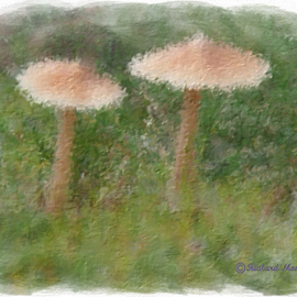 TWO MUSHROOMS  By Richard Montemurro