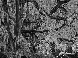 Rick Chinelli: 'Ynez Refugio Moss bw  0311', 2015 Black and White Photograph, Trees.