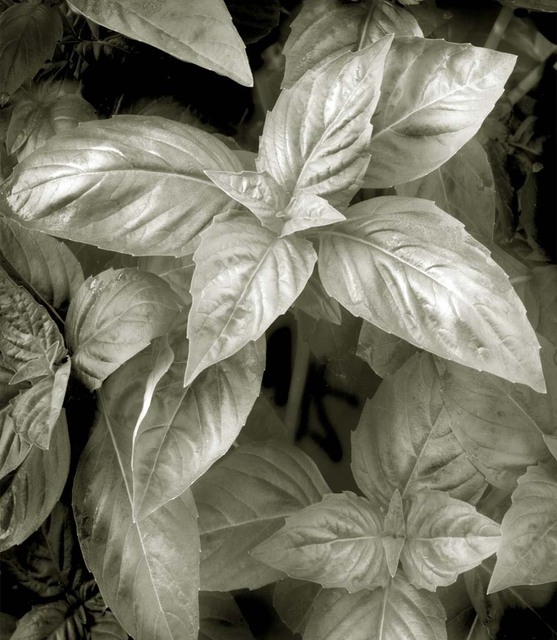Ron Guidry  'Basil', created in 2010, Original Photography Black and White.