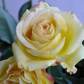 Ronald Mains: 'A Single Yellow Rose', 2003 Color Photograph, Floral.