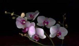 Rosemarie Stanford Artwork Oriental Pink, 2007 Oriental Pink, Botanical