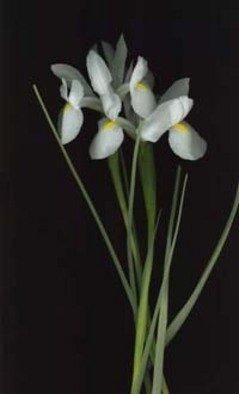 Rosemarie Stanford Artwork White Iris, 2006 White Iris, Botanical