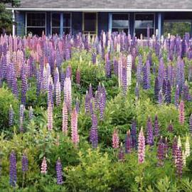 Ruth Zachary Artwork Best Year For Lupines, 2004 Color Photograph, Floral