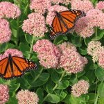 Monarchs By Ruth Zachary