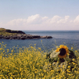 Ruth Zachary: 'Sunflower Summer', 2006 Color Photograph, Floral. Artist Description:  Bright sunflower yellow, blue sea and sky.  What says summer more? ? ?  Monhegan Island, Maine.  11 x 14