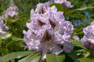 Ralph Andrea: 'Rhododendron 152', 2005 Color Photograph, nature. California, USA.I shot this softly hued lilac Rhododendron on the California coast midday in early April.Digital Photograph - Light Jet Print on Fujifilm Crystal Archive Paper...