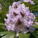 Rhododendron 152, Ralph Andrea
