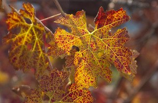 Ralph Andrea: 'Turning Leaves in the Vineyard', 2004 Color Photograph, nature.  California, USA. A spectacle of autumn color is ablaze in this backlit Cabernet Sauvignon leaf. Digital Photograph - Light Jet Print on Fujifilm Crystal Archive Paper ...