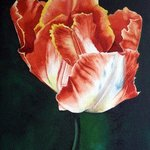 undecided tulip By Sarah Longlands