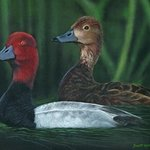 Red Headed Ducks, Scott Kinsman