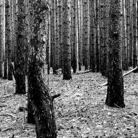 Stef Dorin: 'Pine forest', 2015 Black and White Photograph, Landscape. Artist Description: Selling limited edition photographs- each print is signed and numbered verso and delivered unframed and unmated. I ship all prints, ( along with a certificate of authenticity) , rolled, in a heavy duty shipping tube fully insured. If you like to see more of my work please visit