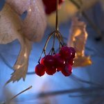 frosty berries By Dmytro Suptelia