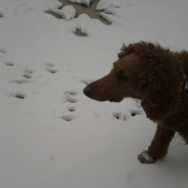Debbi Chan: 'Charlie and the newly fallen snow', 2012 Color Photograph, Home. Artist Description:  Photos from Idaho. ...