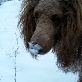 Debbi Chan Artwork Charlie loves snow, 2013 Color Photograph, Dogs