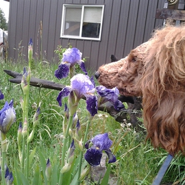 Debbi Chan: 'Charlie says smell the iris ', 2012 Color Photograph, Animals. Artist Description:                                                             Photos from Idaho.             ...