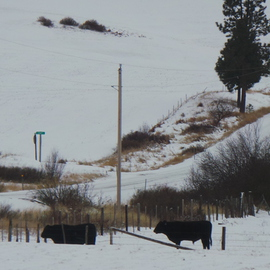 Debbi Chan Artwork Western cattle in snow laden field, 2013 Color Photograph, Landscape