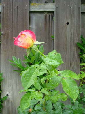 Color Photograph by Debbi Chan titled: a rose is a pink rose, 2010